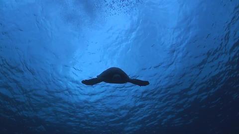 Hawksbill Turtle ภาพวิดีโอ