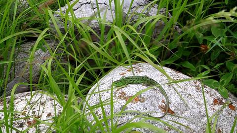 Green lizard lies basking on a rock in the grass Footage