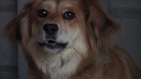 Brown Dog That Barks 04 stock footage