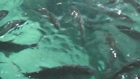 Fish in the aquarium. marine life Footage