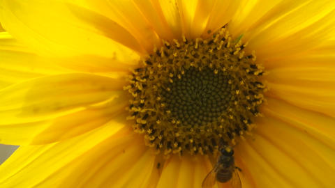 Honeybee On Sunflower ( Macro Video) stock footage