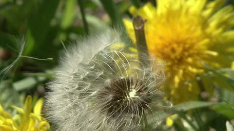 Dandelion in the wind Live Action