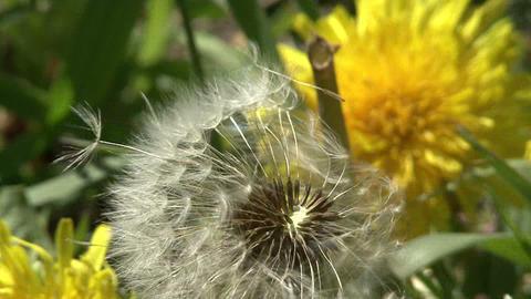 Dandelion in the wind Footage
