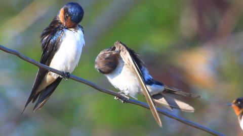 Barn Swallow stock footage