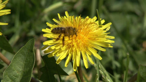bee on a dandelion Stock Video Footage
