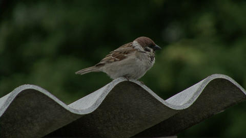 Sparrow On A Slate Roof stock footage