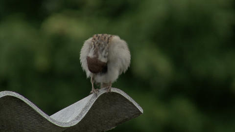 Sparrow on a slate roof Footage