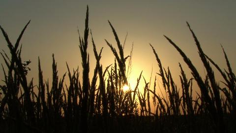 sunset in field Footage