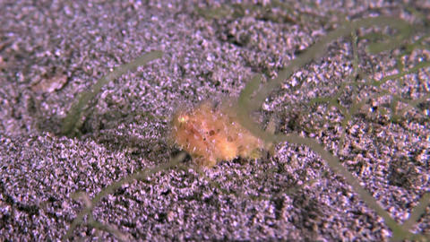 Hairy Frogfish Footage