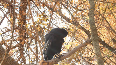 Crow in autumn Footage