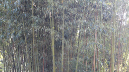 Bamboo grove Live Action