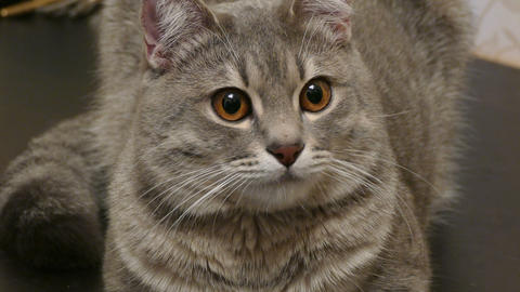 Gray cat with brown eyes staring at the sides-4K Footage