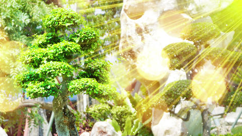 Bonsai Tree In Garden And Sunrays Seamless Loop 4k (4096x2304) stock footage