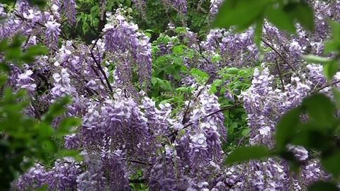 Glycine flowers in the rain 01 Footage