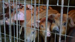 Small piglet in playpen 02 Footage