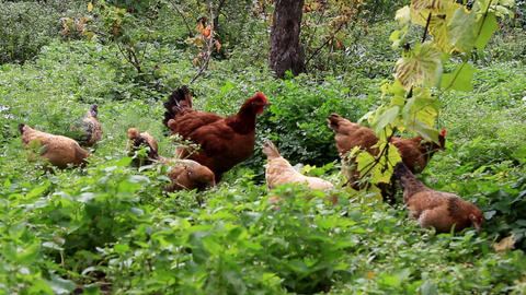 Flock of chickens in a neglected garden Footage