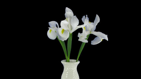 Growing, opening and rotating white iris with ALPHA Footage