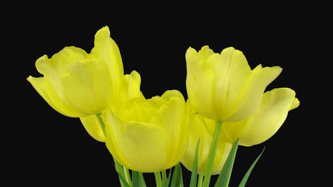 Time-lapse opening yellow tulip bouquet with ALPHA matte (DCI-2K) Footage