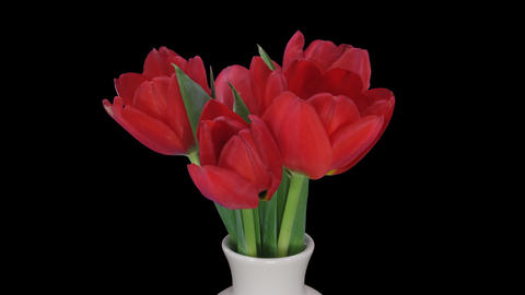 Time-lapse of opening red tulips in vase, UHD 4K, ALPHA Footage