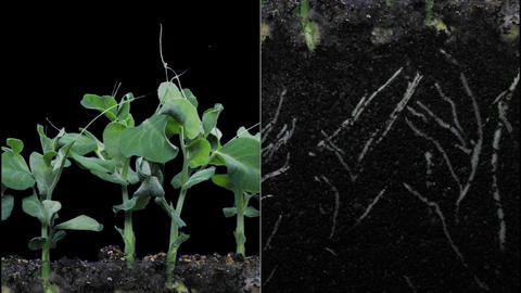 Time-lapse Of Growing Pea Vegetables With ALPHA stock footage