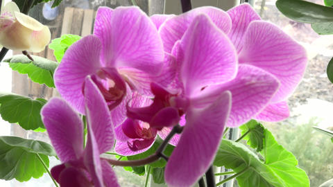 Close-up of Pink Orchid on a Window. 4k Ultra HD Footage