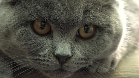 Scottish Fold Cat Closeup. 4k Ultra HD stock footage