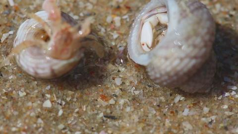 Hermit crabs Footage