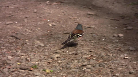 Finch 01 stock footage