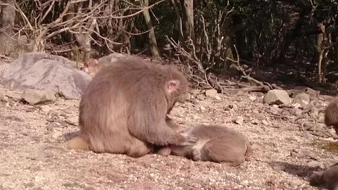 Animal Monkey 0001 stock footage