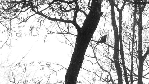 Crow On Branch In The Winter stock footage