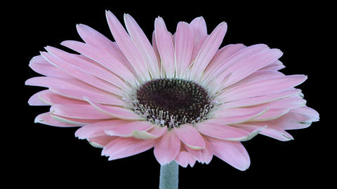 Time-lapse of growing and opening pink gerbera flower with ALPHA Footage