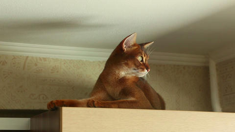 Abyssinian cat Stock Video Footage