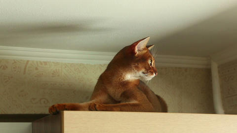 Abyssinian cat Footage
