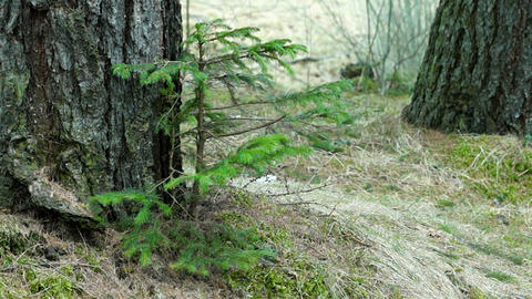 Young Fir Tree Swaying in a Strong Wind Footage