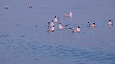 Few Gulls Float in Calm Sea Water at Sunset Footage