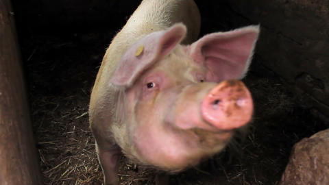 Pig In A Pigsty Looks Into Camera stock footage
