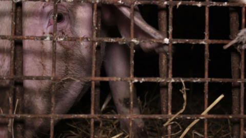 Close-up of a pig's snout behind bars Footage