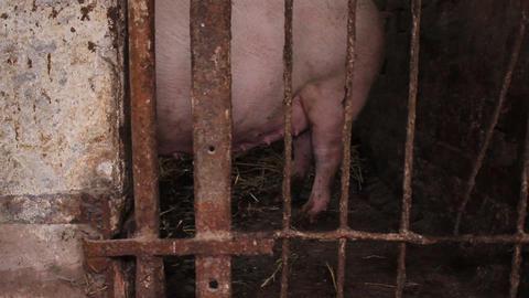 Close up of porcine udders Footage