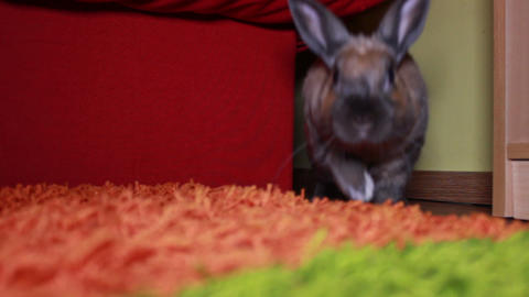 Slow Motion of the rabbit jumping towards camera Footage
