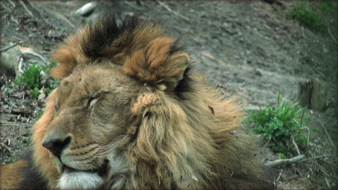Slow motion with a adult lion on a tree trunk resting Live Action