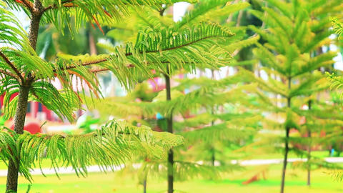 Conifer Trees In Summer Park stock footage