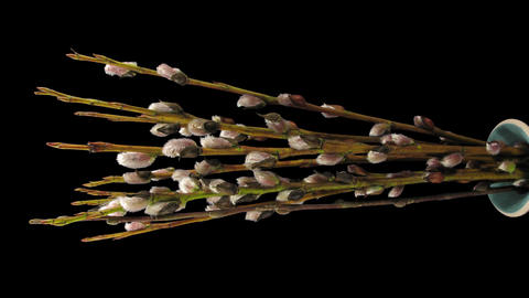 Time-lapse of growing willow catkins with ALPHA, vertical Footage