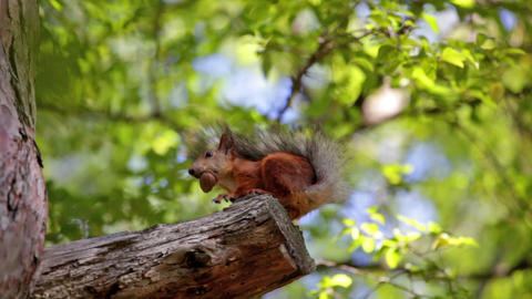 Fluffy red squirrel sits on a tree and gnaws a nut Footage