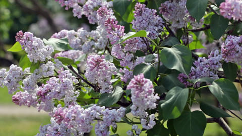 Branch of the blossoming lilac Footage