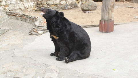 Himalaya Bear In The Open-air Cage Of A Zoo stock footage