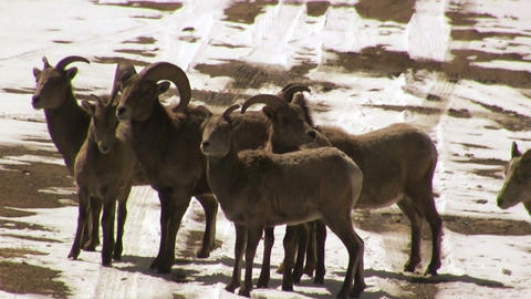 Bighorn Sheep in the Middle of Road Footage