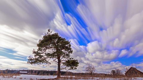 Separately growing pine against the sky. Blurry. Time Lapse Footage