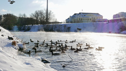 Ducks fed bread. Winter. 4K Stock Video Footage