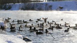 Ducks fed bread. Winter. 4K Footage
