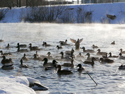 Ducks fed bread. Winter. 640x480 Footage